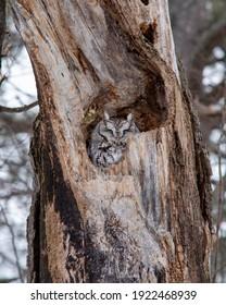Eastern screech owl, grey morph