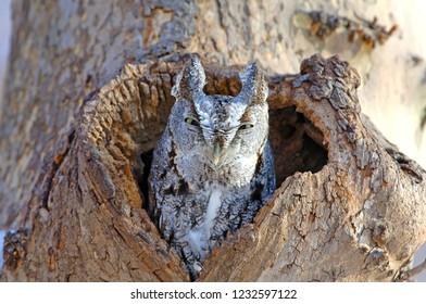 Eastern Screech owl perched in hole in tree