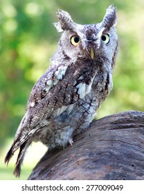 A Eastern Screech Owl perched on a tree stump