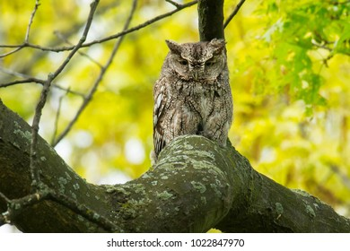 Eastern Screech Owl resting high up on a thick branch. High park, Toronto, Ontario, Canada.