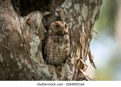 Eastern Screech-Owl nesting in a hole in a tree, perfectly camouflaged.