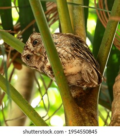 Eastern Screech-Owl trying to sleep in the daytime looks down from its safe spot in a small palm tree in Fort Lauderdale, Florida, USA.