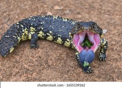 Eastern shingleback (Tiliqua rugosa) threatening open mouth