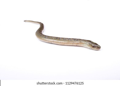 Eastern slow worm (Anguis fragilis colchicus)