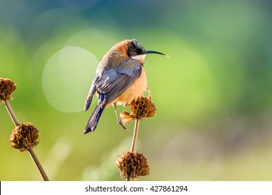 Eastern Spinebill (Acanthorhynchus tenuirostris) juvenile. The eastern spinebill is a species of honeyeater found in south-eastern Australia in forest and woodland areas, as well as urban gardens.