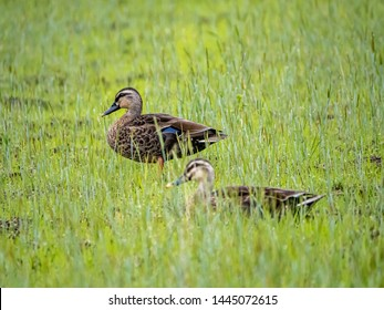An eastern spot-billed duck, Anas zonorhyncha, standing in a Japanese rice field in Kanagawa, Japan.