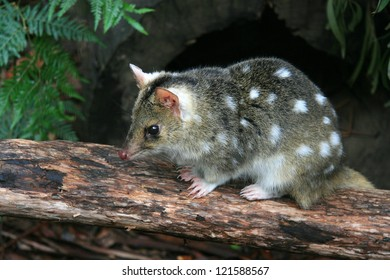 Eastern Spotted Quoll in Tasmania
