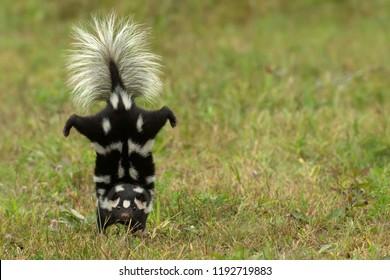 Eastern spotted skunk handstand Agnieszka Bacal.
