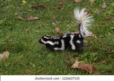 Eastern Spotted Skunk (Spilogale putorius) Runs Left - captive animal