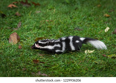 Eastern Spotted Skunk (Spilogale putorius) Moves Left on Grass - captive animal
