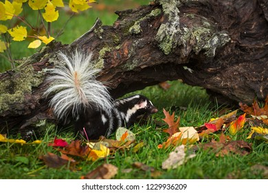 Eastern Spotted Skunk (Spilogale putorius) Tail Towards Viewer - captive animal