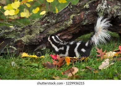 Eastern Spotted Skunk (Spilogale putorius) Looks at Log - captive animal