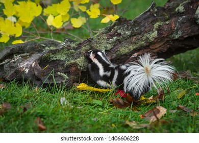 Eastern Spotted Skunk (Spilogale putorius) Steps Up on Log Autumn - captive animal