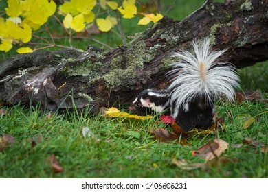 Eastern Spotted Skunk (Spilogale putorius) Turns Left Near Log Autumn - captive animal