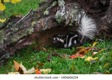 Eastern Spotted Skunk (Spilogale putorius) Under Log Tail Up Autumn - captive animal