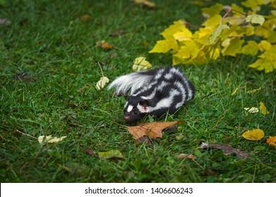 Eastern Spotted Skunk (Spilogale putorius) Runs About in Grass Autumn - captive animal