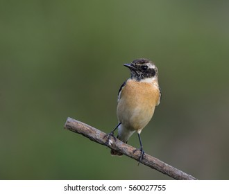 Eastern or Stejneger's Stonechat (Saxicola stejnegeri) brown bird with black head perching on the stick showing its chest feathers, fascinated creature