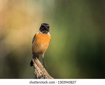 Eastern Stonechat (Saxicola rubicola) on the branch.
