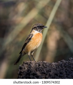 Eastern Stonechat (Saxicola rubicola) on the ground.