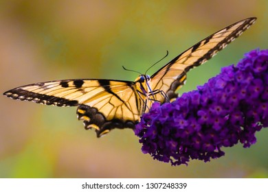 An eastern swallowtail butterfly feeds on flowers of butterfly bush