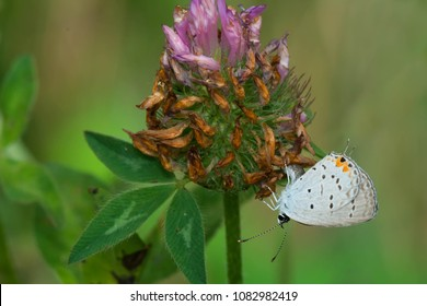 Eastern Tailed Blue Butterfly perched under a purple clover flower. Rouge national Urban Park, Toronto, Ontario, Canada.