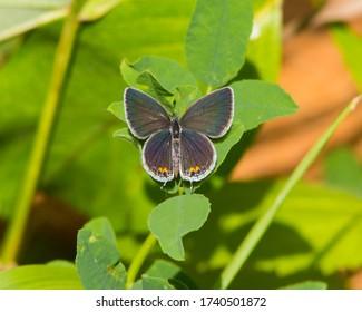 Eastern Tailed-Blue butterfly in Southwestern Ohio
