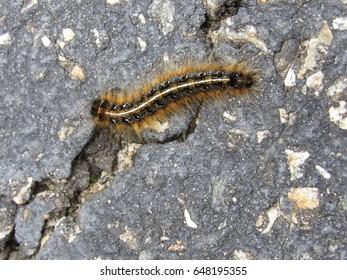 Eastern Tent Caterpillar (Malacosoma) on pavement