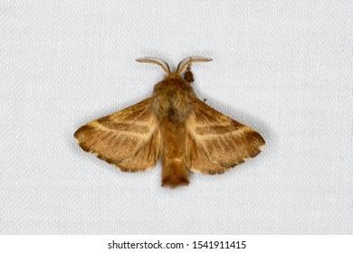 Eastern Tent Caterpillar Moth, Hodges #7701, Malacosoma americana