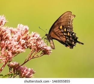 Eastern Tiger Swallowtail, black form Female Butterfly, feeding on Joe Pye Weed Wildflowers