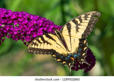 Eastern Tiger Swallowtail Butterfly collecting nectar from a purple Butterfly Bush flower. Rosetta McClain Gardens, Toronto, Ontario, Canada.