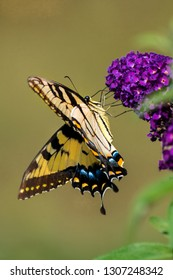 An eastern tiger swallowtail butterfly feeds on flowers of butterfly bush.  Captured with a low angle.