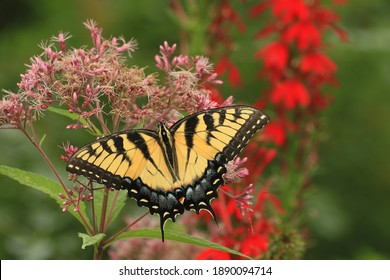eastern tiger swallowtail butterfly female papilio glaucus on joe pye weed flower with cardinal flower native plants