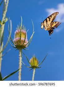Eastern Tiger Swallowtail Butterfly Flying Near Thistle.
