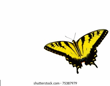 an eastern tiger swallowtail butterfly isolated on white with room for your text