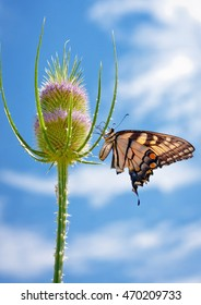 An Eastern Tiger Swallowtail butterfly with a little less wing than usual feeds on an 8 foot tall thistle, baking in the hot summer sun.