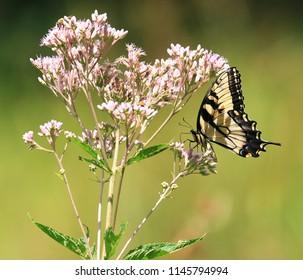 Eastern Tiger Swallowtail Butterfly on a Joe Pye Weed