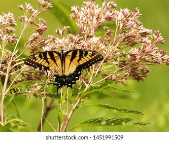 Eastern Tiger Swallowtail Butterfly on a pink Joe Pye Weed wildflower