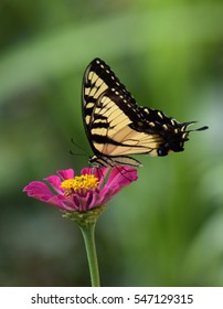 Eastern tiger swallowtail butterfly on Zinnia flower