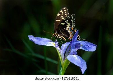 An eastern tiger swallowtail butterfly perched on a Florida native blue flag iris in Audubon Corkscrew Swamp.