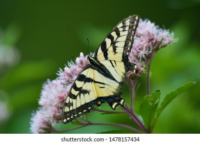 An Eastern Tiger Swallowtail Butterfly sits on Joe Pye Weed near the Flume Falls of the Ausable River, Wilmington, New York.