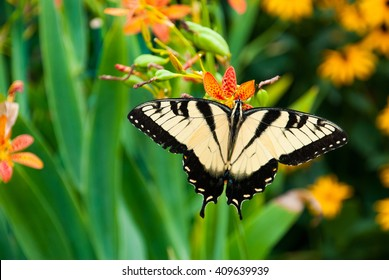 Eastern Tiger Swallowtail Butterfly in a Virginia Garden