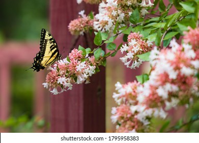 Eastern Tiger Swallowtail on wildflowers