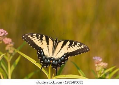 Eastern Tiger Swallowtail (Papilio glaucus) on Swamp Milkweed (Asclepias incarnata). Marion, Illinois, USA.