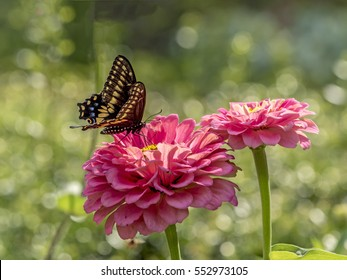 Eastern tiger swallowtail, Papilio glaucus is a species of swallowtail butterfly native to eastern North America