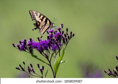 Eastern Tigerstripe butterfly on a purple flower