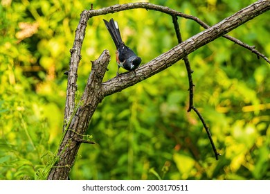 An Eastern Towhee Perched on a Dead Tree in a Forest.