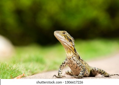 Eastern Water Dragon lizard outside during the daytime