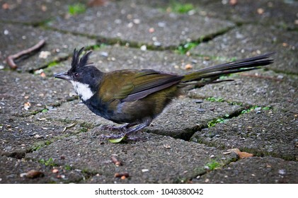 Eastern Whipbird in Lamington National Park, Queensland Australia.