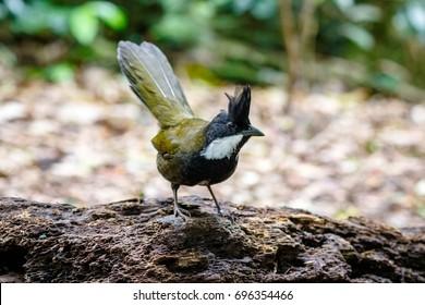 Eastern Whipbird standing on a fallen log in an Australian rainforest