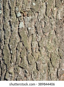 Eastern White Pine Bark Closeup